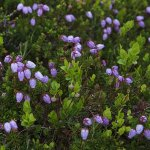 09-Blalyngen-pyntar-fjellet
