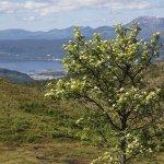 Rogna-blomstrar-under-Svarrafjellet