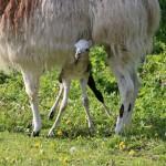 Lamafødsel