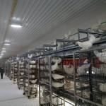 Høner fra bur