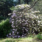 rododendron_7294