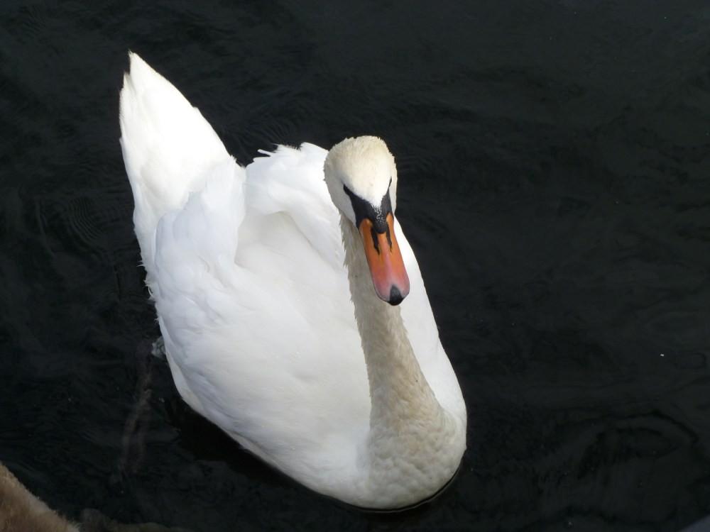 Den  hvite  svane