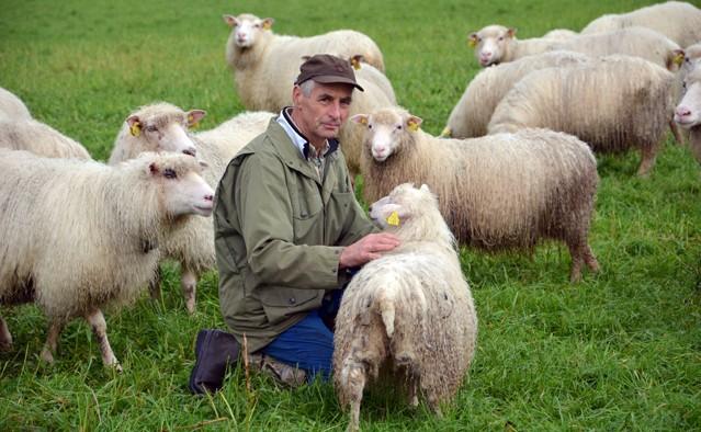 Mista  mange  lam  på  fjellbeite