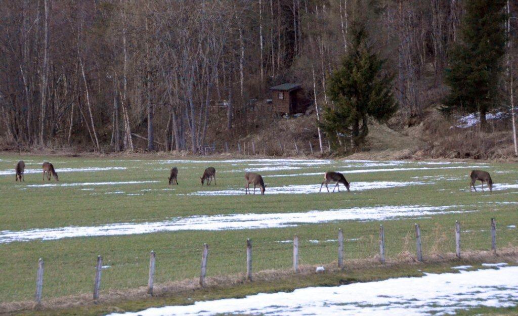Hjort på innmarka