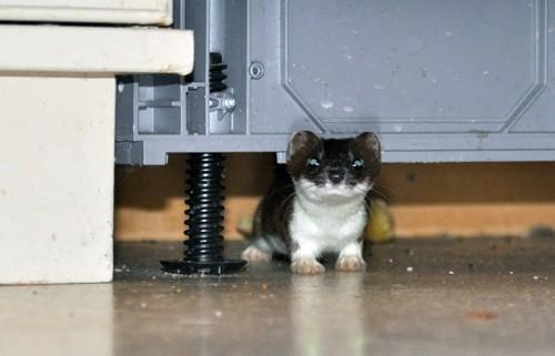 Ein ubuden gjest på kjøkkenet…