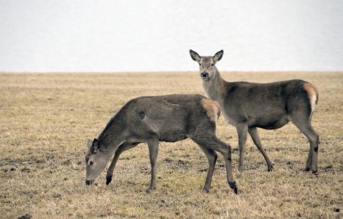 Hjorten er eit staseleg dyr  Foto: Jon Olav Ørsal