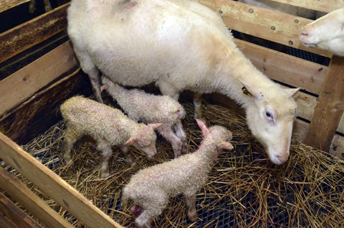 Nyfødde  kvennsetgardingar