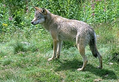 Har du sett ulven?