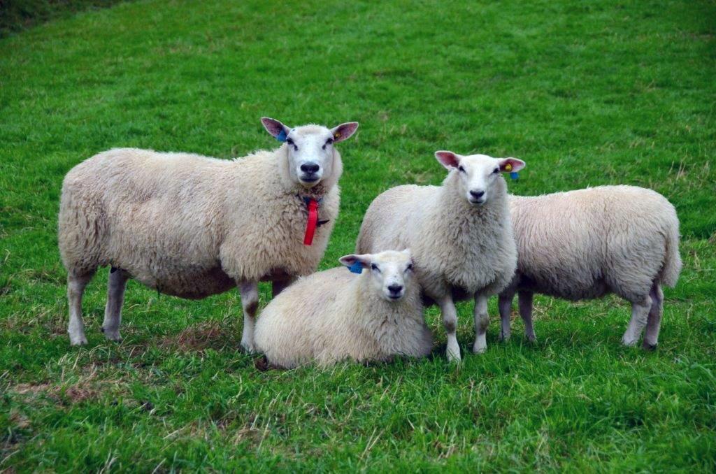 ARKIVFOTO:Raud sløyfe betyr trilingsau. Denne fekk med alle 3 lamma heimatt.  Foto: Jon Olav Ørsal