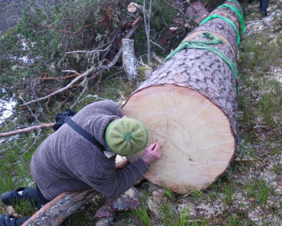Jon B. Godal rekna rundt 200 årringar på furua.  Foto: Jon Bruset