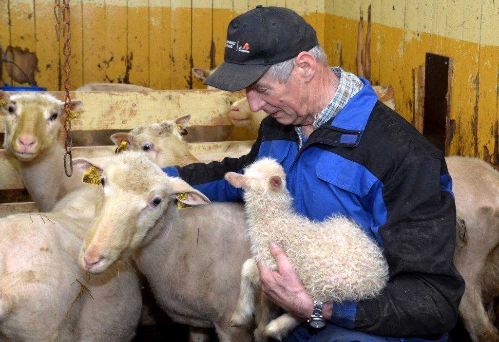 Tysdag kom dei tre første lamma i Viastua - lamminga er i gang, konstaterer Gudmund K. Kvendset.  Foto: Jon Olav Ørsal