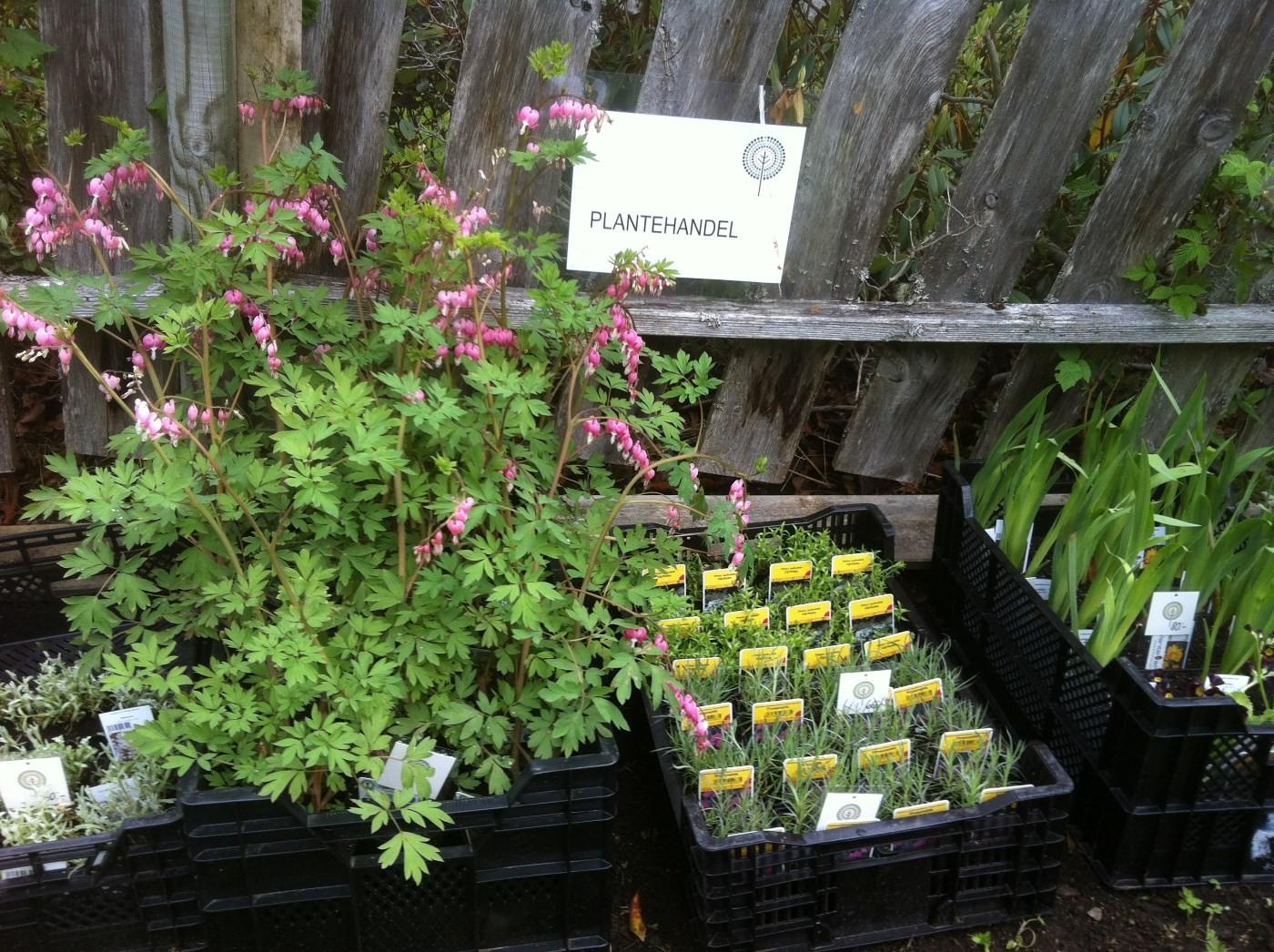 Staudar frå Oldemors hage får du no kjøpt i arboretet.  Foto: Katarina Wedelsbäck