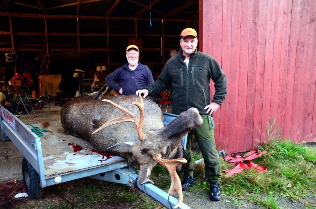 Storelgen var 233 kg. Til venstre Trygve Auale som feira 20-årsjubileum på jaktlaget i år, til høgre poserer elgskyttaren Trond Werner Lunde.  Foto: Jon Olav Ørsal