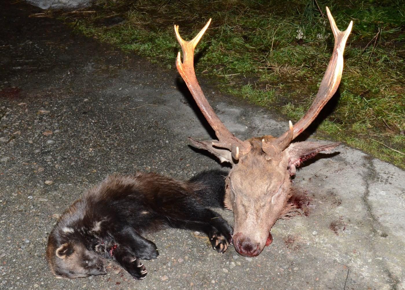Helga resultat vart både jerv, hjort og elg.  Foto: Jon Olav Ørsal