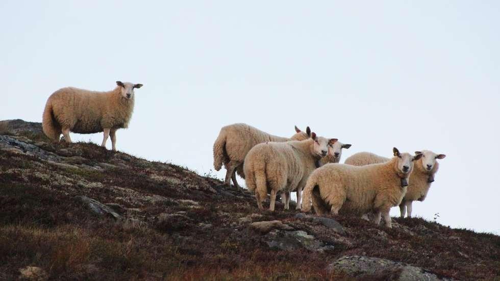 Sau og to lam er sakna i området ved Bjøråskaret. Illustrasjonsbilete: Driva