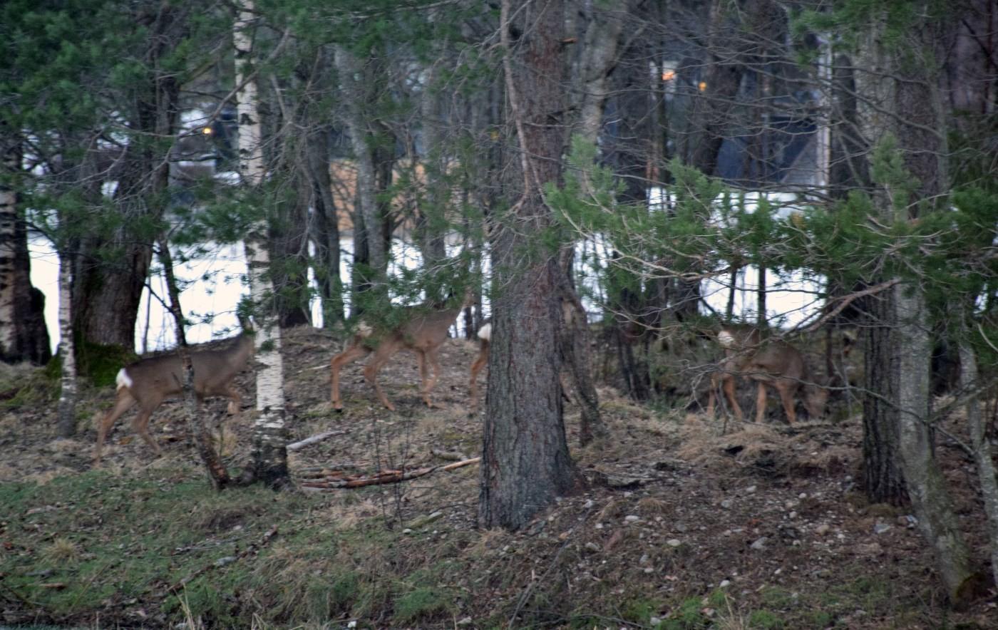 Godt kamuflert i skogtoppa ved Lunde.  Foto: Jon Olav Ørsal