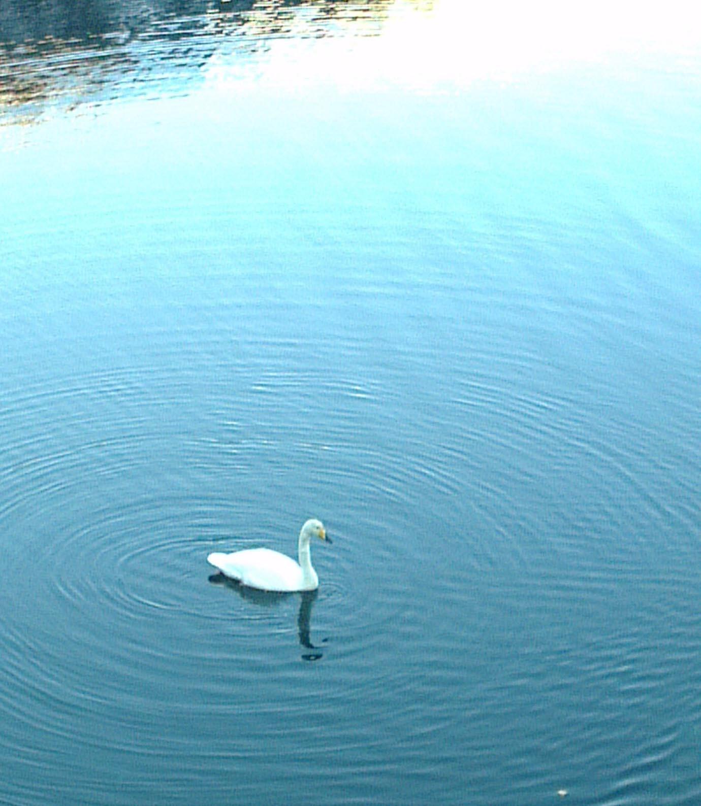 Songsvana ligg og duppar i sjøen ved Todalsøra. Brødsmular vart nok litt fristande.  Foto: Anders Gjeldnes