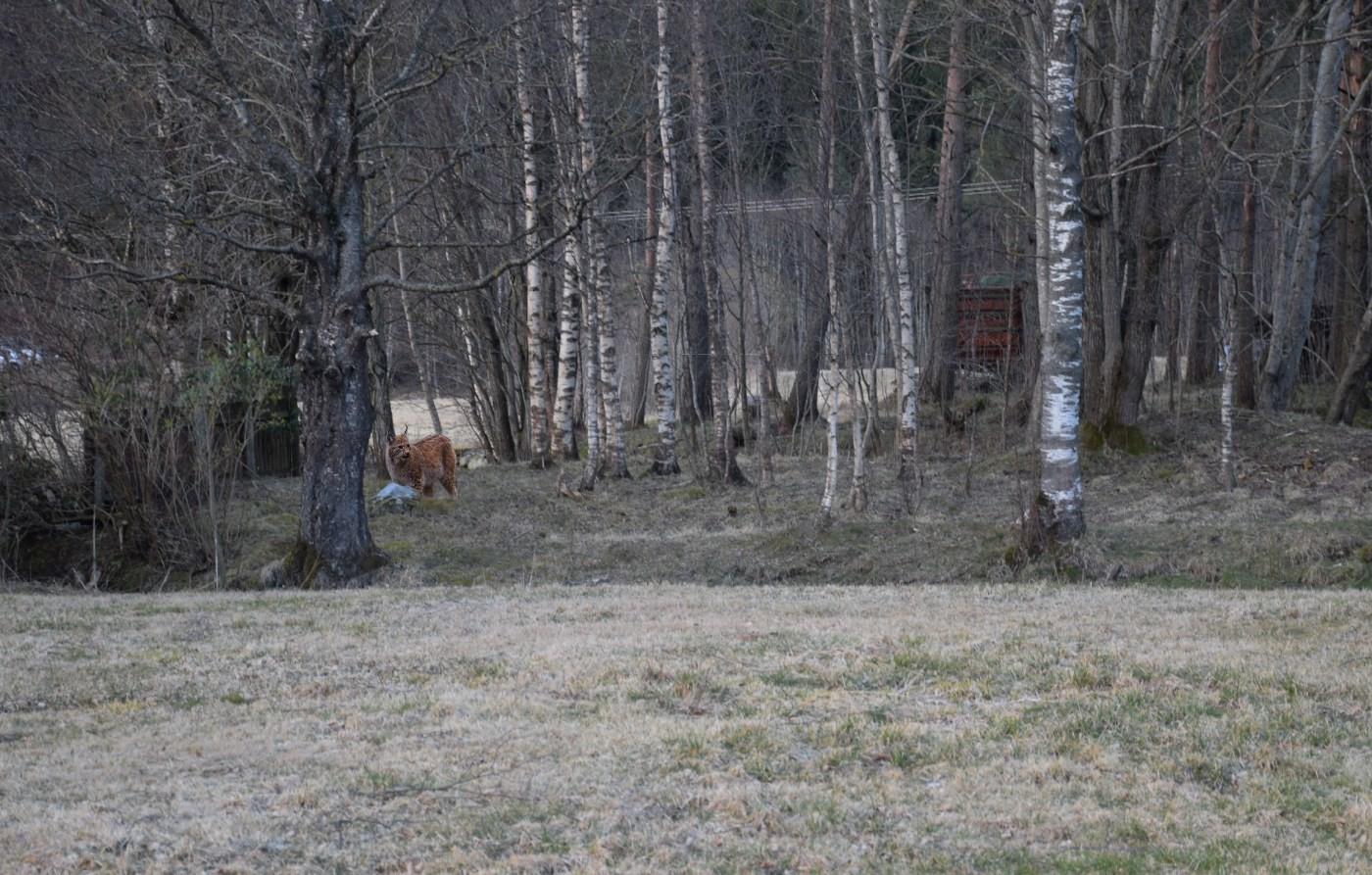 Det vart tid berre til eit bilde av gaupa før ho stakk til skogs.