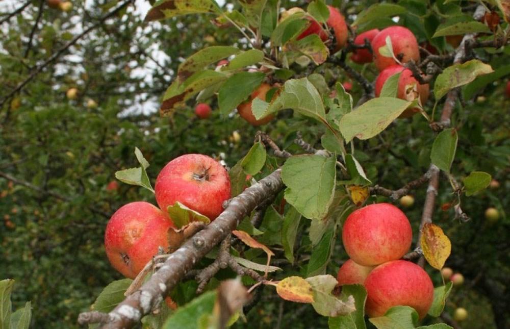 Laurdag blir det poding av frukttre i Svinviks arboret.  Foto: Svinviks arboret