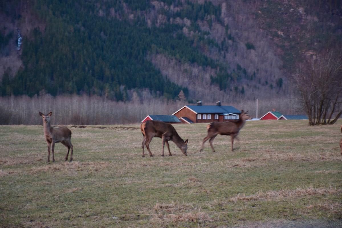 Nygrøå - dei aller første grøne spirane sett hjorten pris på!  Foto: Jon Olav Ørsal