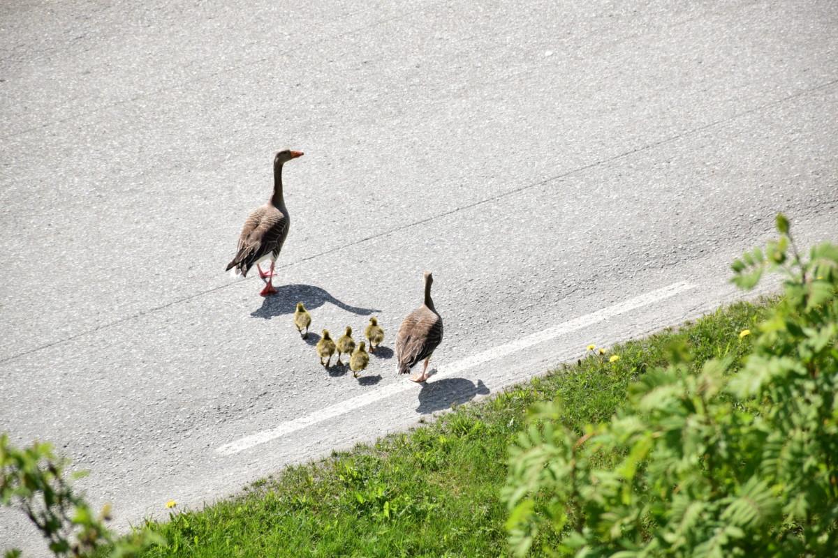 Grågåsfamilien på veg over vegen og ut i den store verden...  Foto: Jon Olav Ørsal