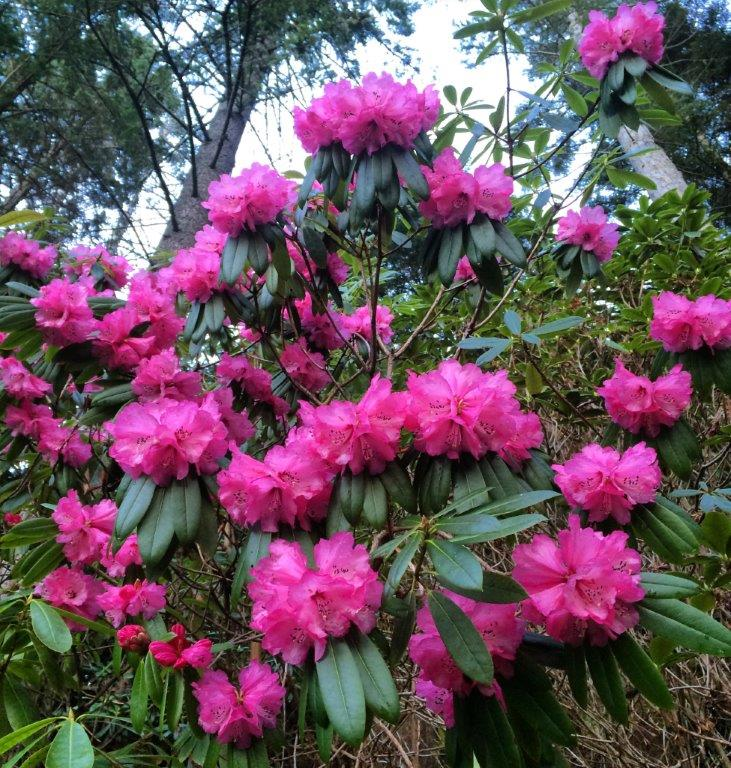 Rododendron - foto: Surnadal museum