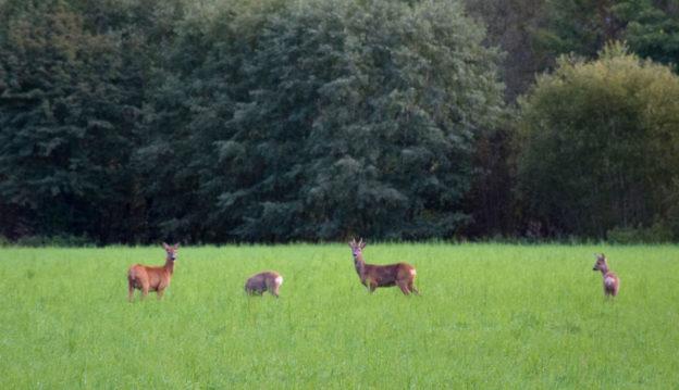 Kjerne familien på den grønne eng - rå, råbukk og 2 kalvar.   Foto: Jon Olav Ørsal