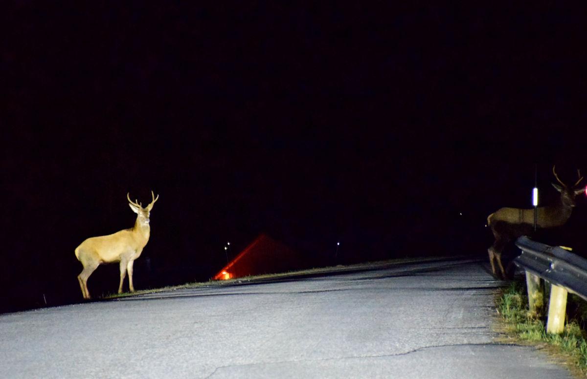 Ved Heggjeskaret. Den eine hjorten er komen over vegen, medan neste står for tur.  Foto: Jon Olav Ørsal