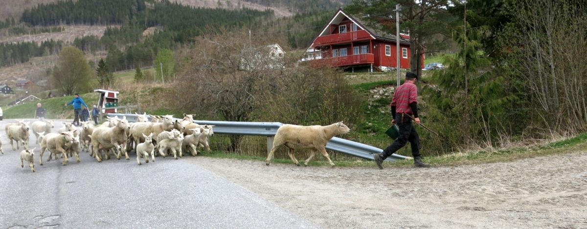 Saueslepp i Gammelstua. Foto: Dordi J H