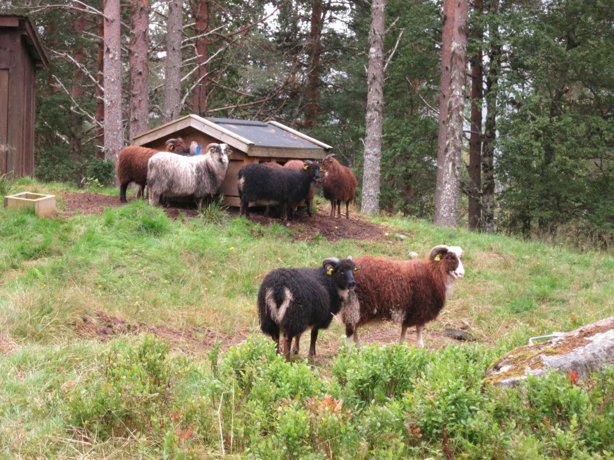 Tilsaman har Per Åke over 300 dyr på fjellbeite - kopplamma er samla på Hjellnessetra der dei har sin eigen foringsautomat.  Foto. Jon Olav Ørsal
