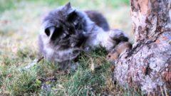 Kattens lek med musa