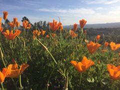 Ein ny vår i Santa Rosa