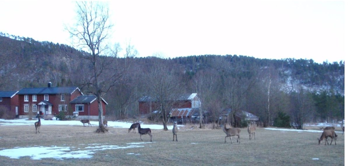 Vårtelling  av  hjort  i  Surnadal  kommune
