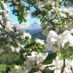 Blomstrande  ramme  rundt  dei  velkjente  fjella!