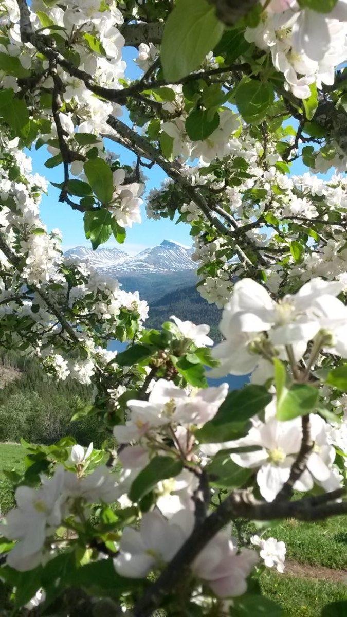 Månadens bilete: Blomstrande ramme rundt dei velkjente fjella