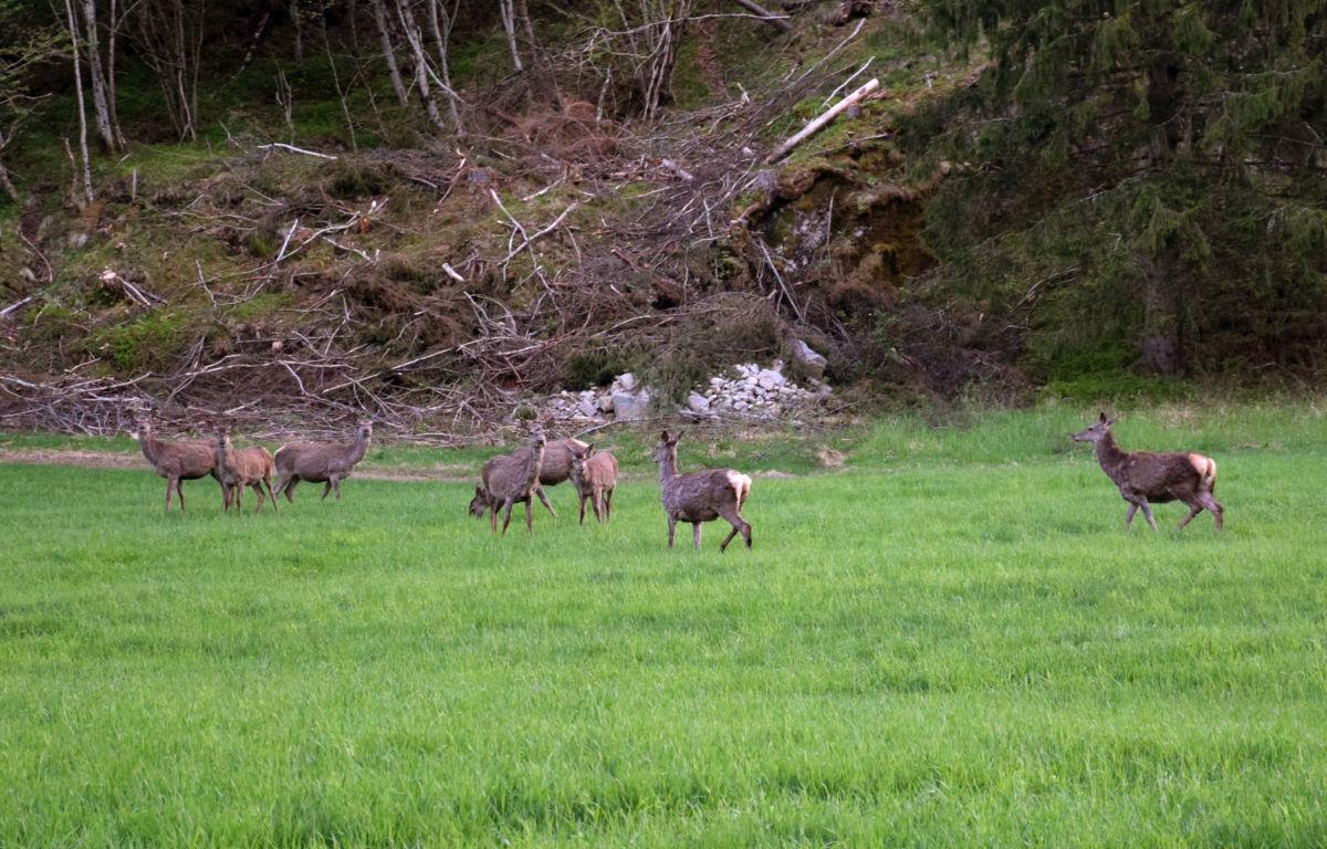8-10 hjortar beita fredelag på Nylevollen i kveld.  Foto: Jon Olav Ørsal