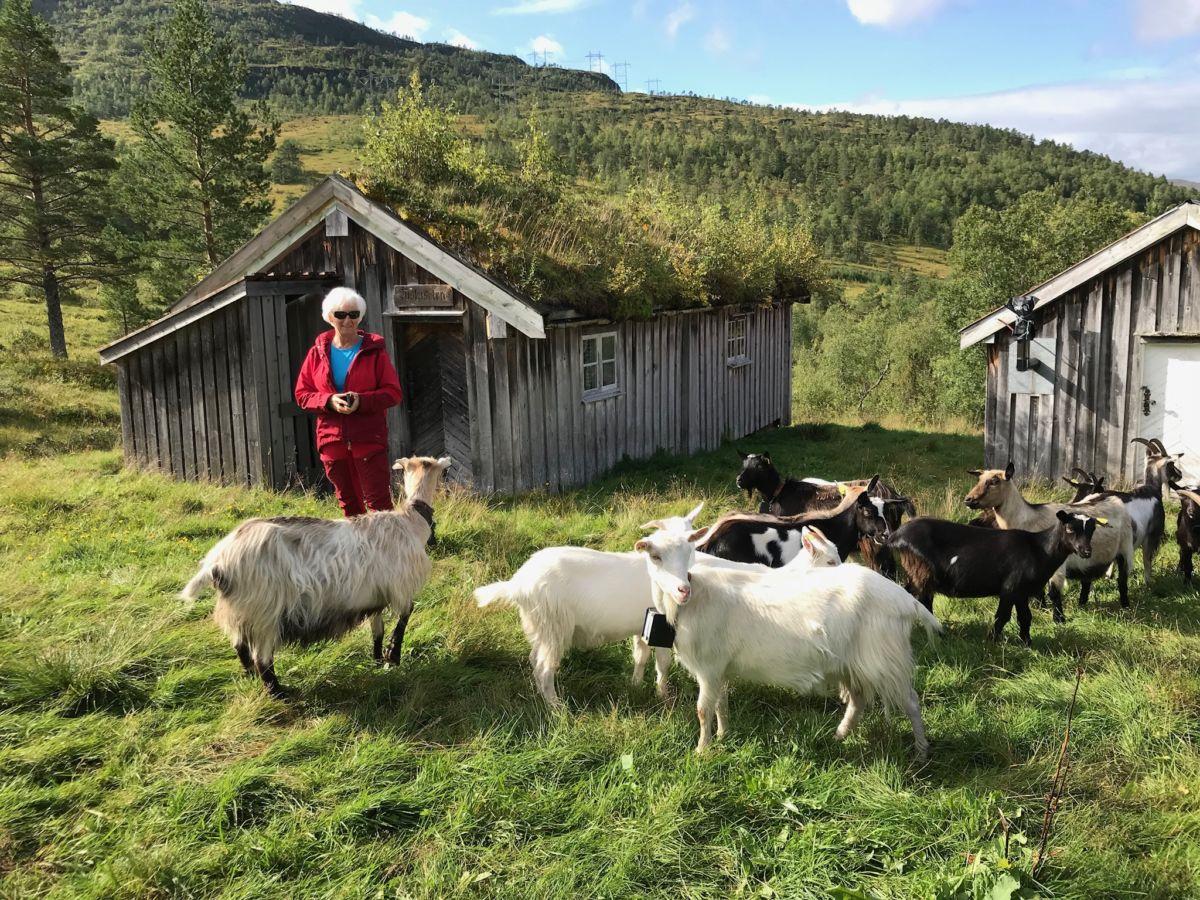Bitten Ranes vart møtt av triveleg sommargjestar på Nordviksetra.  Foto Wenche Kvendset