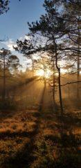 Skogsoppgang i solen