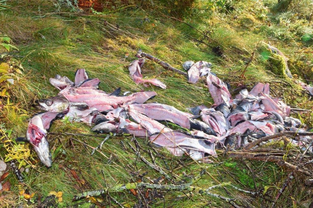 Enn å grise til slik - store mengder fiskavfall er hiva rett utom kanten på rasteplassen i Stranda.  Foto: Jon Olav Ørsal