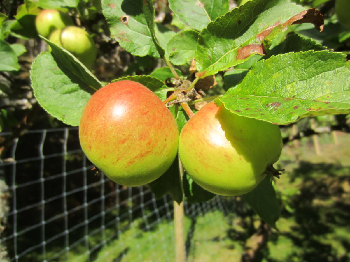 Søndag:  Bli  med  på  poding  av  epletre