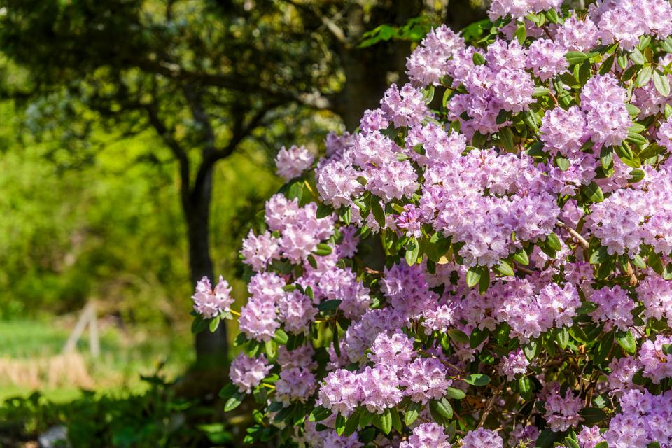 Rododendron - illustrasjonsfoto: Svinviks arboret