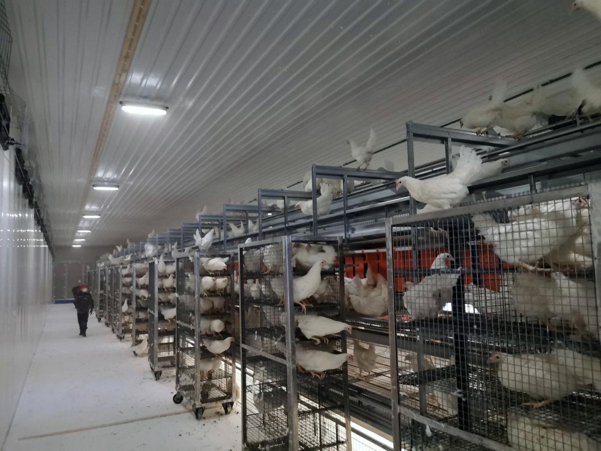 Her fylles hønene inn - vognene blir trilla inn i hønhuset, og så går hønene bort på plassen sin.   Foto: AAK