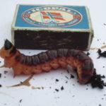 Eit  bilete  av  ei  «kjempestor»  larve,  8-10  cm  lang.  Ho  treng  3  år  for  å  bli  «vaksen».