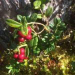 Tyttebærår