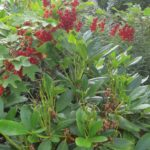 Ha,  ha!  Fuglane  har  sørga  for  over  3kg  «Rhododendron-rips!
