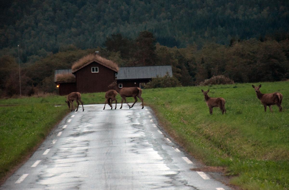 På Ørsalhøgda var det fleire hjortar både på og ved vegen i kveld. Foto: Jon Olav Ørsal