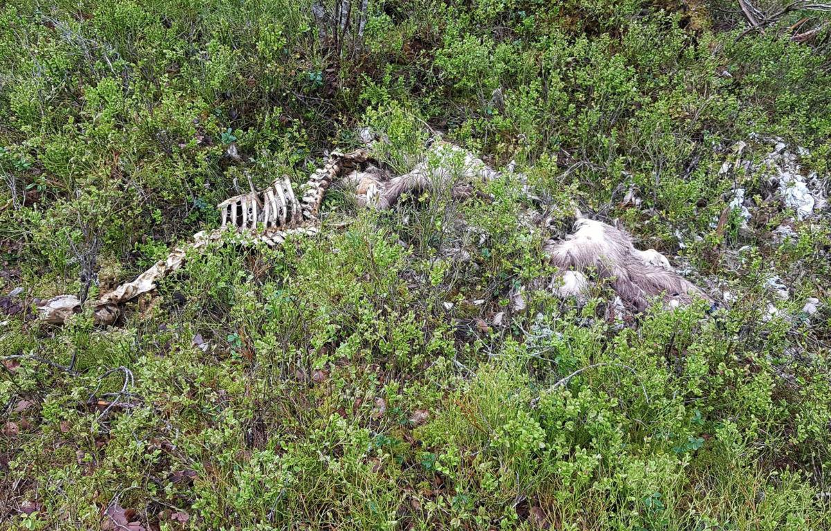Hjorten vart funne død på vårparten i år. Restane av magesekken var full av plast.   Foto:  Privat