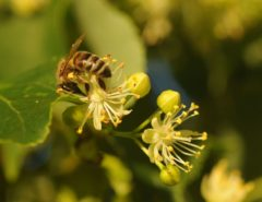 Honningbie på lindeblomster