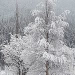 Bjørk  i  snø