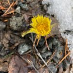 Vårtegn  på  Svinvikrunden.